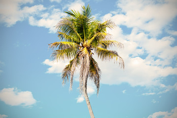 coconut tree in blue sky