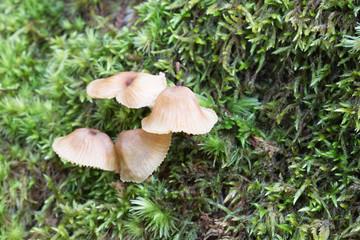 Tiny mushroom growing in green moss.