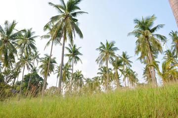 coconut tree garden