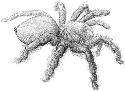 Realistic Tarantula Spider Black and White Sketch