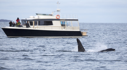 Whale safari on rib boat in the arctic environment