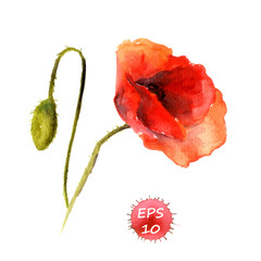 Watercolor poppy flower with bud