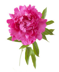 Beautiful peony flowers isolated on white background