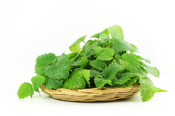 Fresh lemon balm herb Melissa officinalis in white background