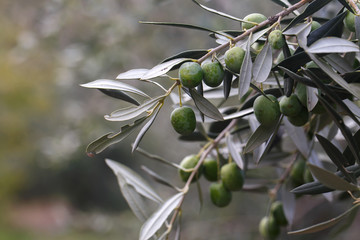 Olives on a Tree in Fall Sicily