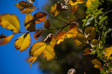 Elm leaves turning yellow in fall