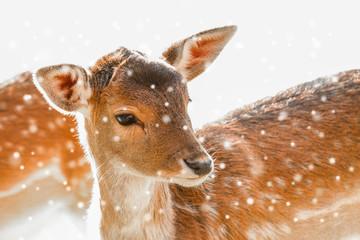Rotwild / Rehe im Winter