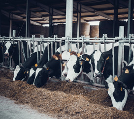 cows in the hangar. Cows on Farm