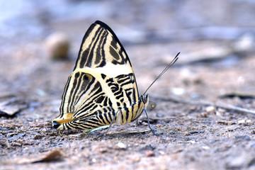 Brazilian butterfly Colobura dirce in the Atlantic  Rainforest