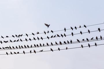 Pigeons row