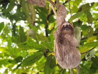 Funny sloth hanging from a branch in the jungle