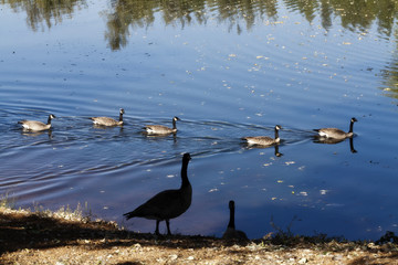 Canadian Geese Swimming In Pond And On Shore