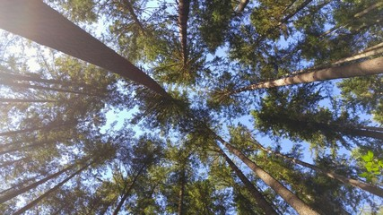 Nature View Looking Up at Forest Canopy of Evergreen Trees