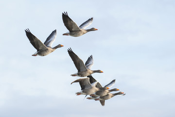 Greylag geese in flight