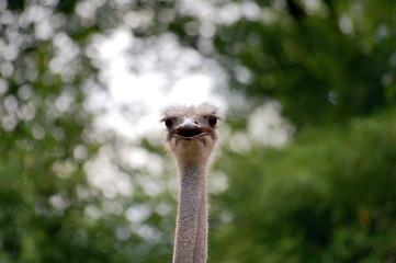 Ostrich face with beak open