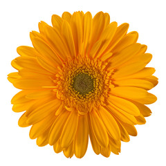 Yellow gerbera flower head