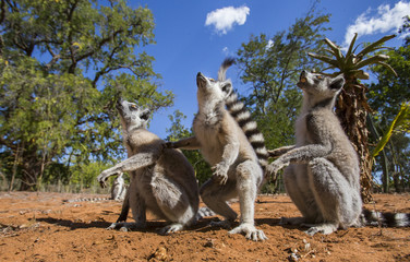 Ring-tailed lemurs are sitting on the ground. Madagascar. An excellent illustration.