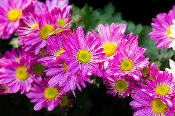 Pink daisies in the garden.