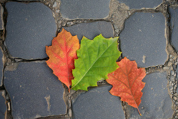 Three fallen oak leaves