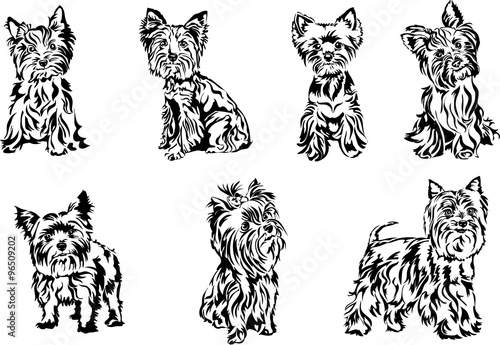 Line Drawing Of Yorkshire Terrier : Quot yorkshire terrier graphics stock image and royalty free