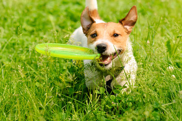 Dog playing at green grass with flying disk