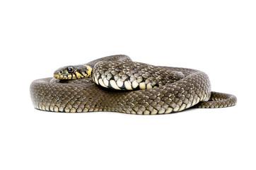 Snake lying isolated on white background