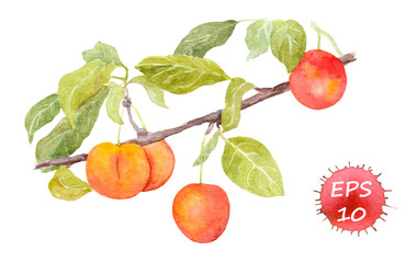 Red cherry plum fruit. Watercolour illustration