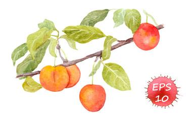 Red cherry plum fruit. Watercolour illustration