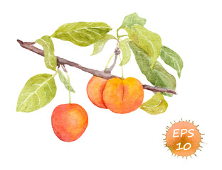 Red cherry plum fruit. Watercolor picture
