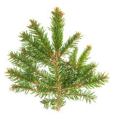 Spruce sprig isolated on white background