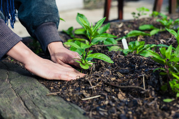 Young hands planting plant