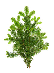 Branch of christmas tree isolated on white background. Pine spri