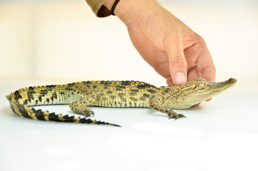 touch crocodile, alligator on white background