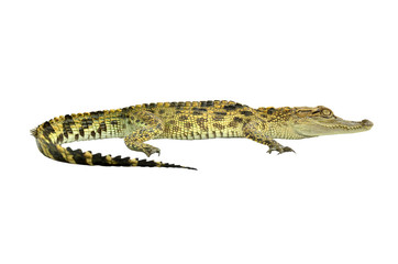 crocodile, alligator on white background