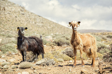 two mountain goats standing on the background of mountains and s