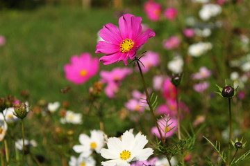 Pink cosmos flower in the garden , autumn moments