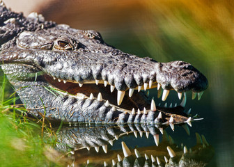 Dangerous American Crocodile In Water