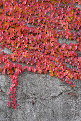 Red ivy on the conctete wall
