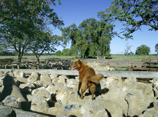 Fototapete -  Sheep dog on the back of merino ewes in yards at a Merino stud,Australia..