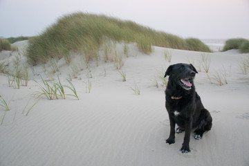 Dog in the dunes of Bayocean Peninsula, Oregon