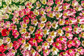 View of many colorful tulips from above