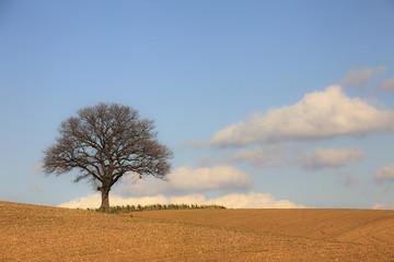 Quercia solitaria, albero in campagna