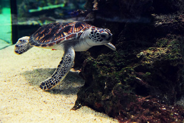 Underwater world - sea turtle in an aquarium