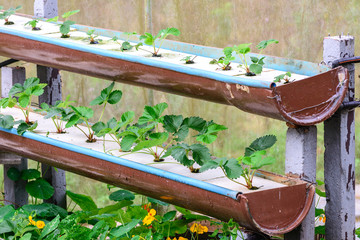 Hydroponics strawberry row in plantation.