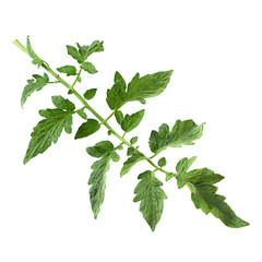 Tomato leaf closeup