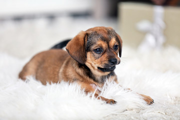 Cute puppy on carpet at home on gifts background
