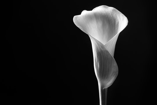 Close up calla lily