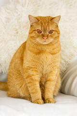 red cat close-up