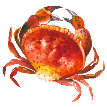 Watercolor crab on white background. Seafood.