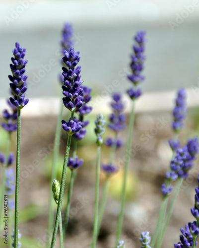 echter lavendel stock photo and royalty free images on. Black Bedroom Furniture Sets. Home Design Ideas